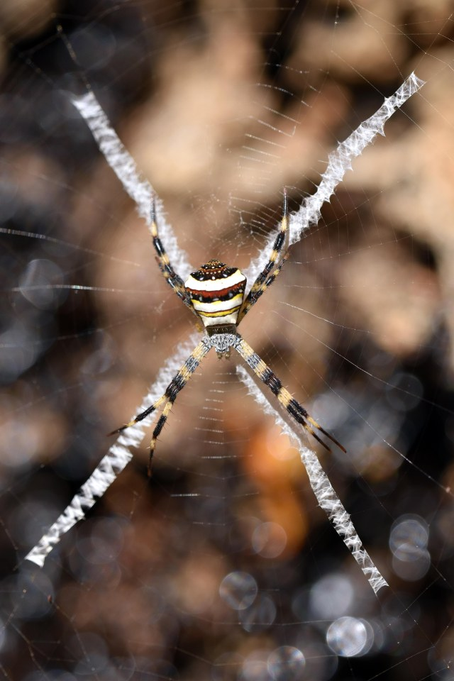 Argiope pulchella, builds a web with an X-shaped stabilimentum