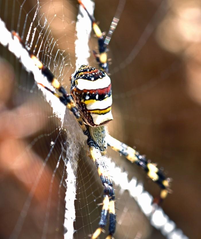 Argiope pulchella orb spider.