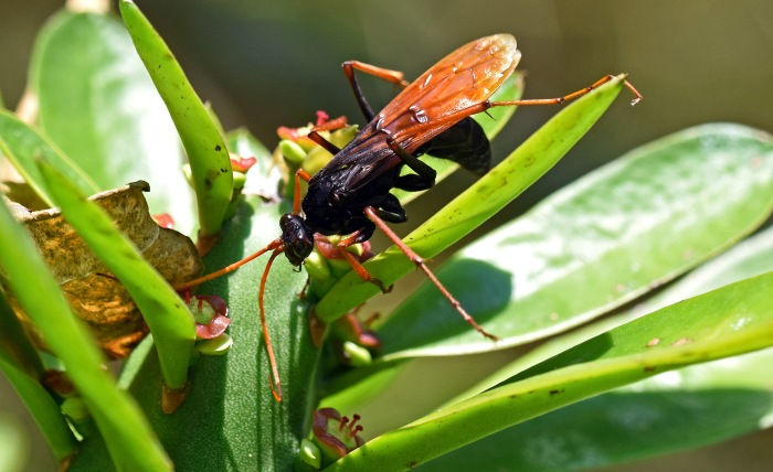 Pompilid wasp, Chiang Dao, Thailand.