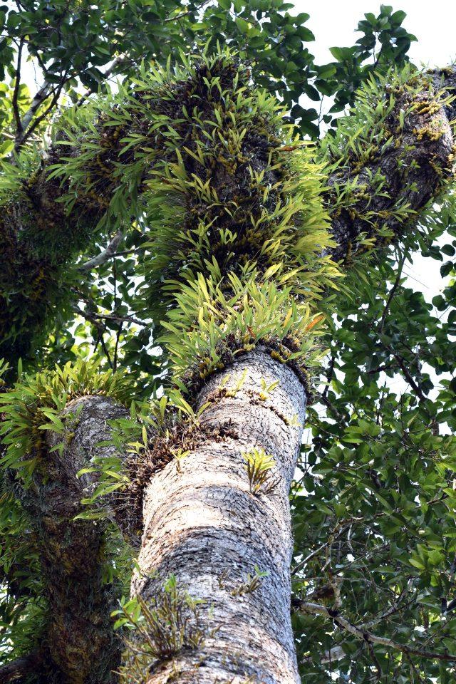 Dipterocarpus alatus, Chiang Dao