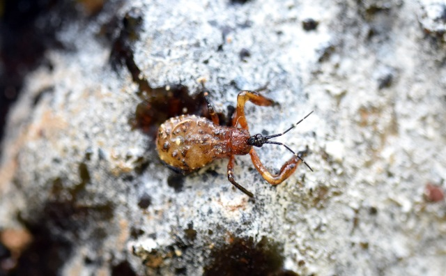Resin bug nymph