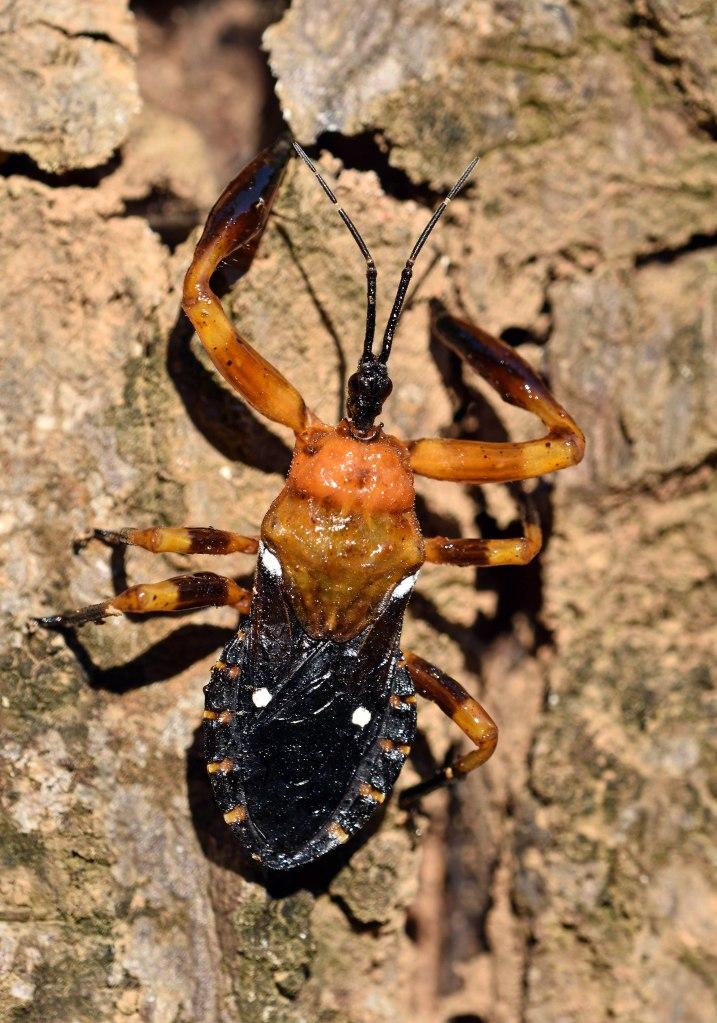 Resin bug (Reduviidae; Harpactorinae; Ectinoderini), Chiang Dao