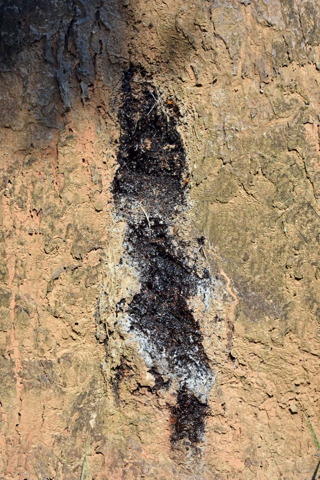 Resin trap on dipterocarp tree trunk