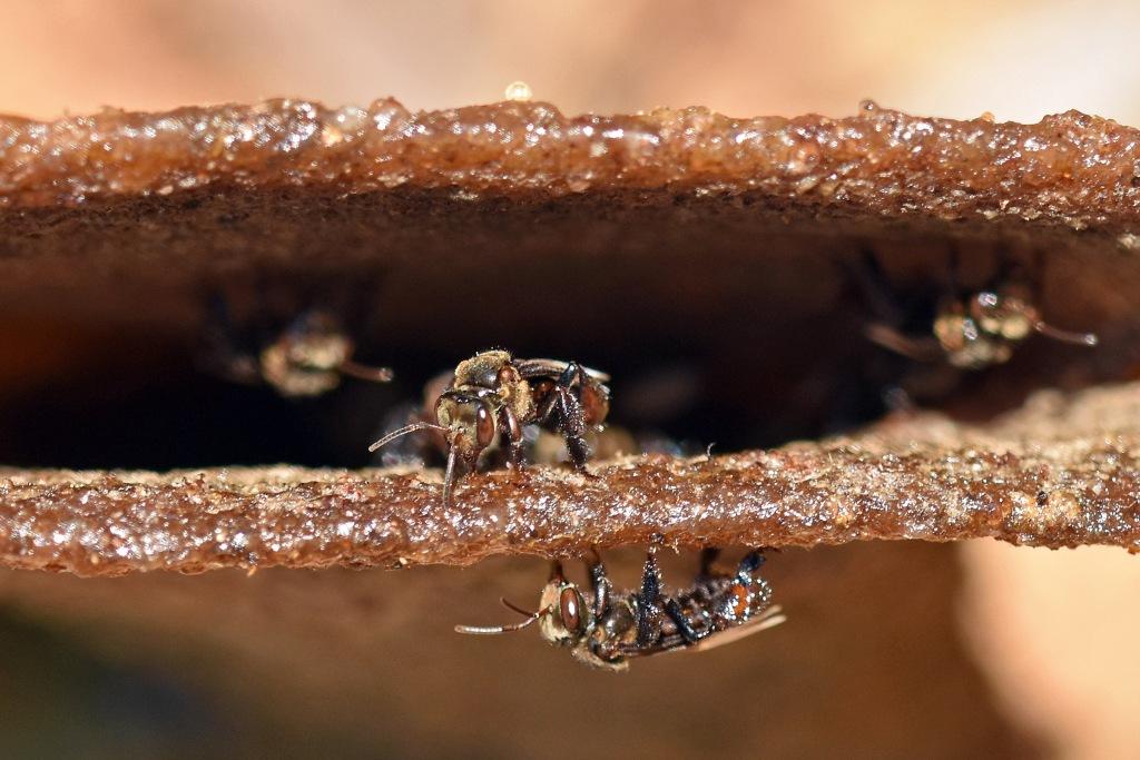 Stingless bees (Trigona sp.) at nest entrance