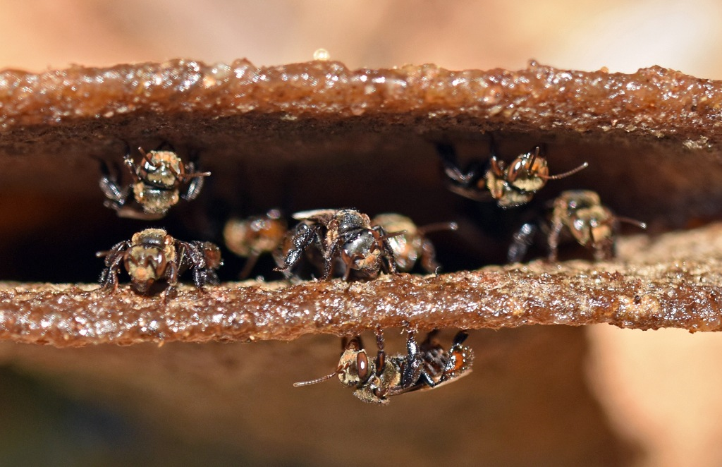 Stingless bees (Trigona sp.) at nest entrance