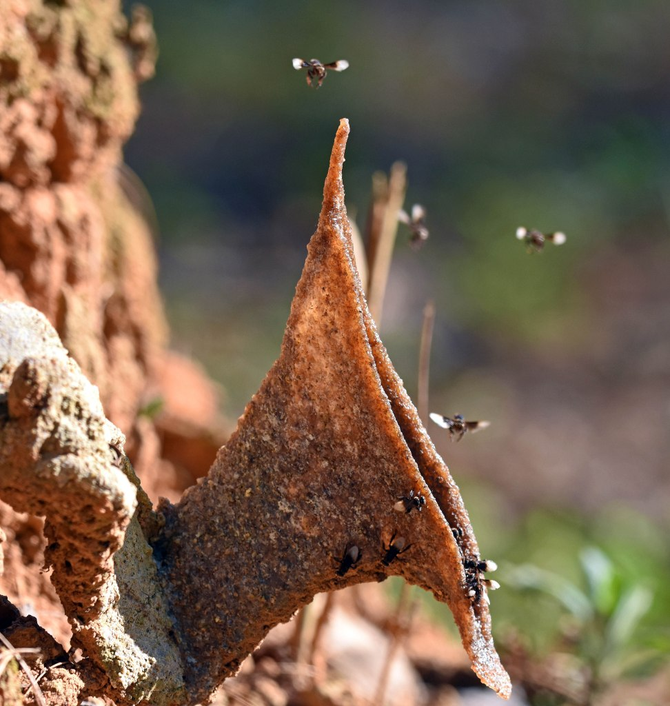 Stingless bees (Trigona sp.) emerging from trumpet-shaped nest entrance below dipterocarp tree