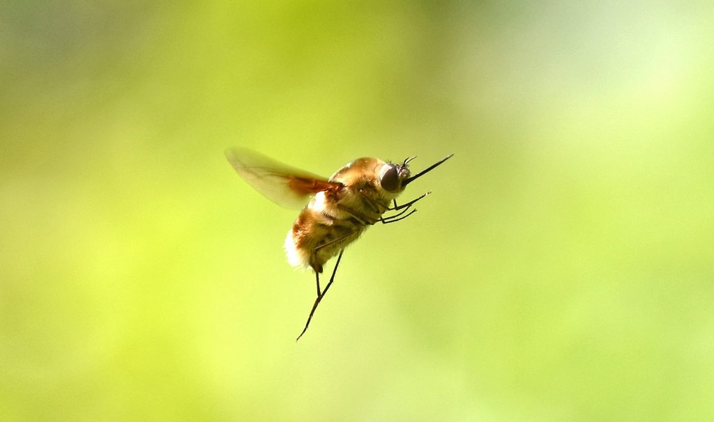 Bee=fly (Bombyliidae) in flight, showing proboscis sticking out in front
