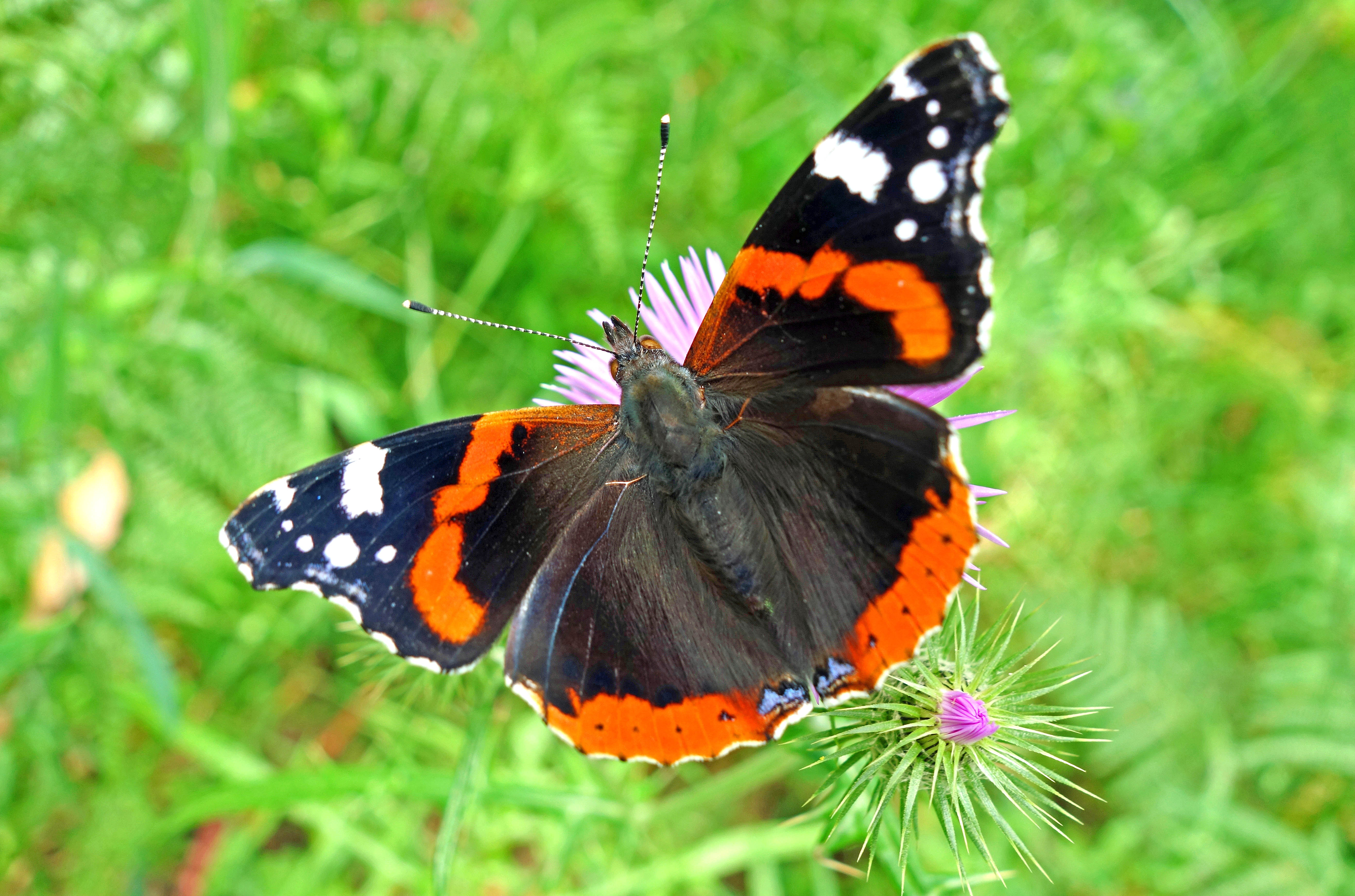 Red Admirals – European migrants – Ray Cannon's nature notes