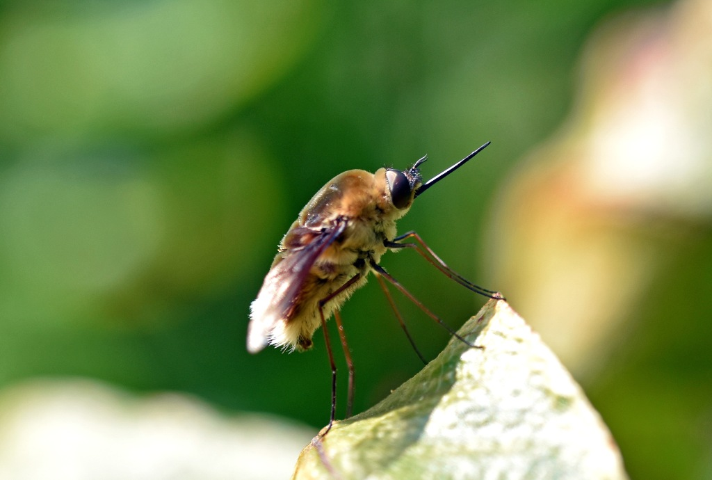 White-tailed bee-fly (Bombyliidae) resting.