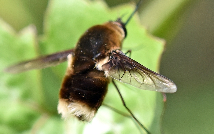 White-tailed bee-fly (Bombyliidae) showing wing venation