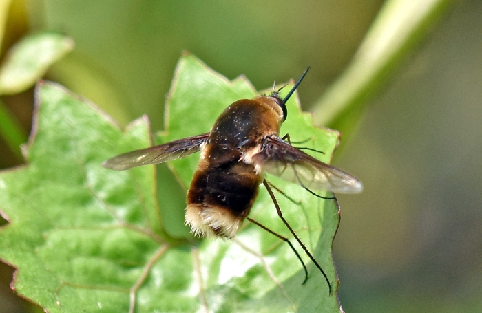 White-tailed bee-fly (Bombyliidae), possibly Bombylius posticus, showing white scales