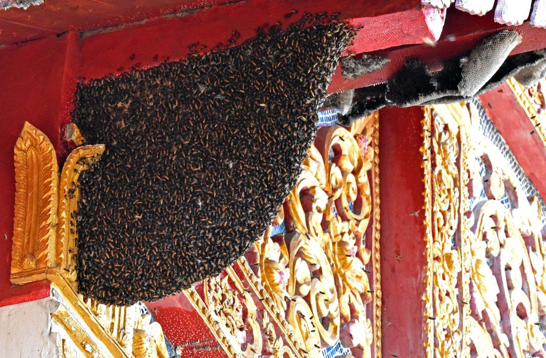 the giant honey bee (apis dorsata) nest on temple