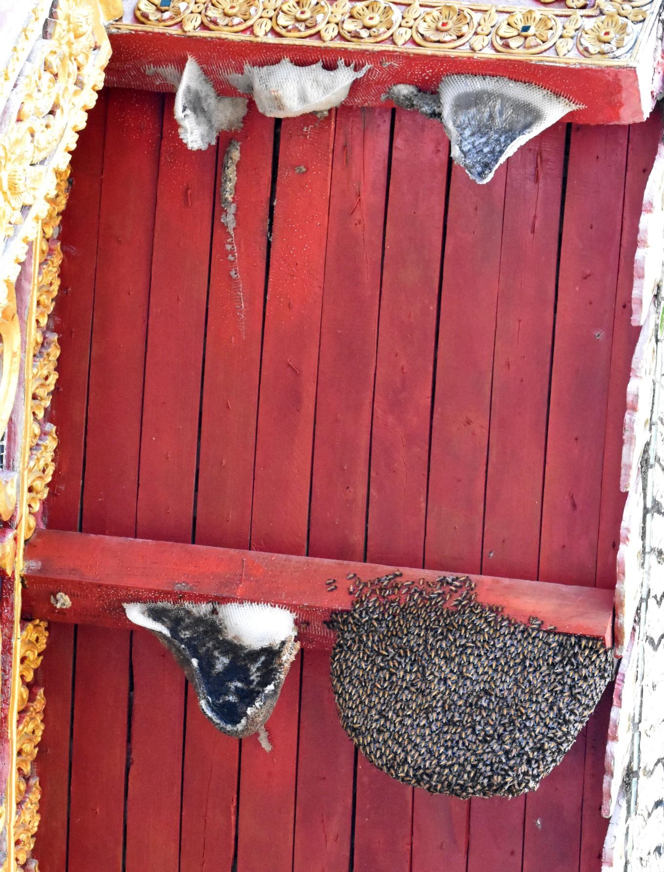 the giant honey bee (apis dorsata) nest on wat doi saket