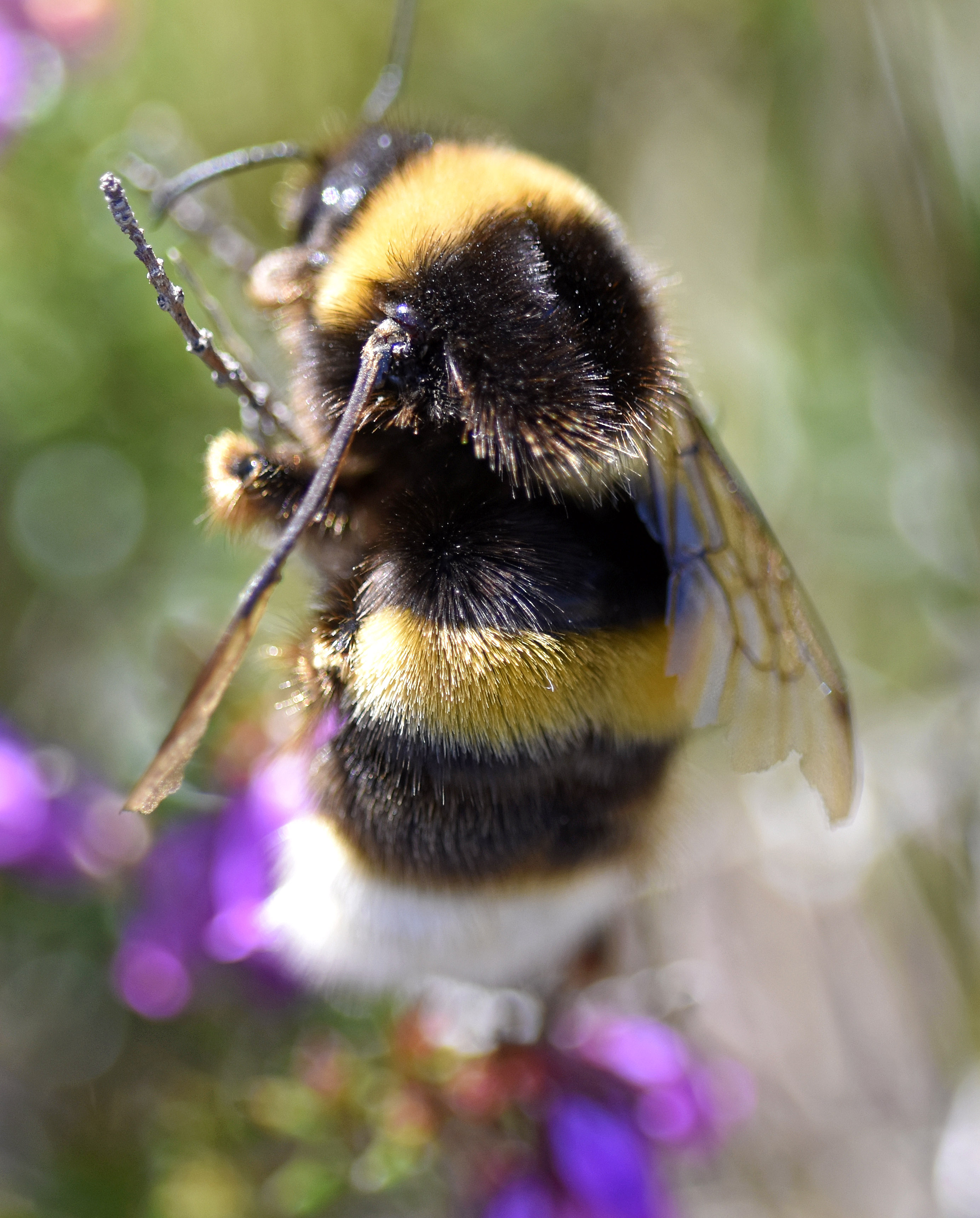 Black Bumble Bee >> A Huge Bumblebee From Spain Bombus Magnus Ray Cannon S