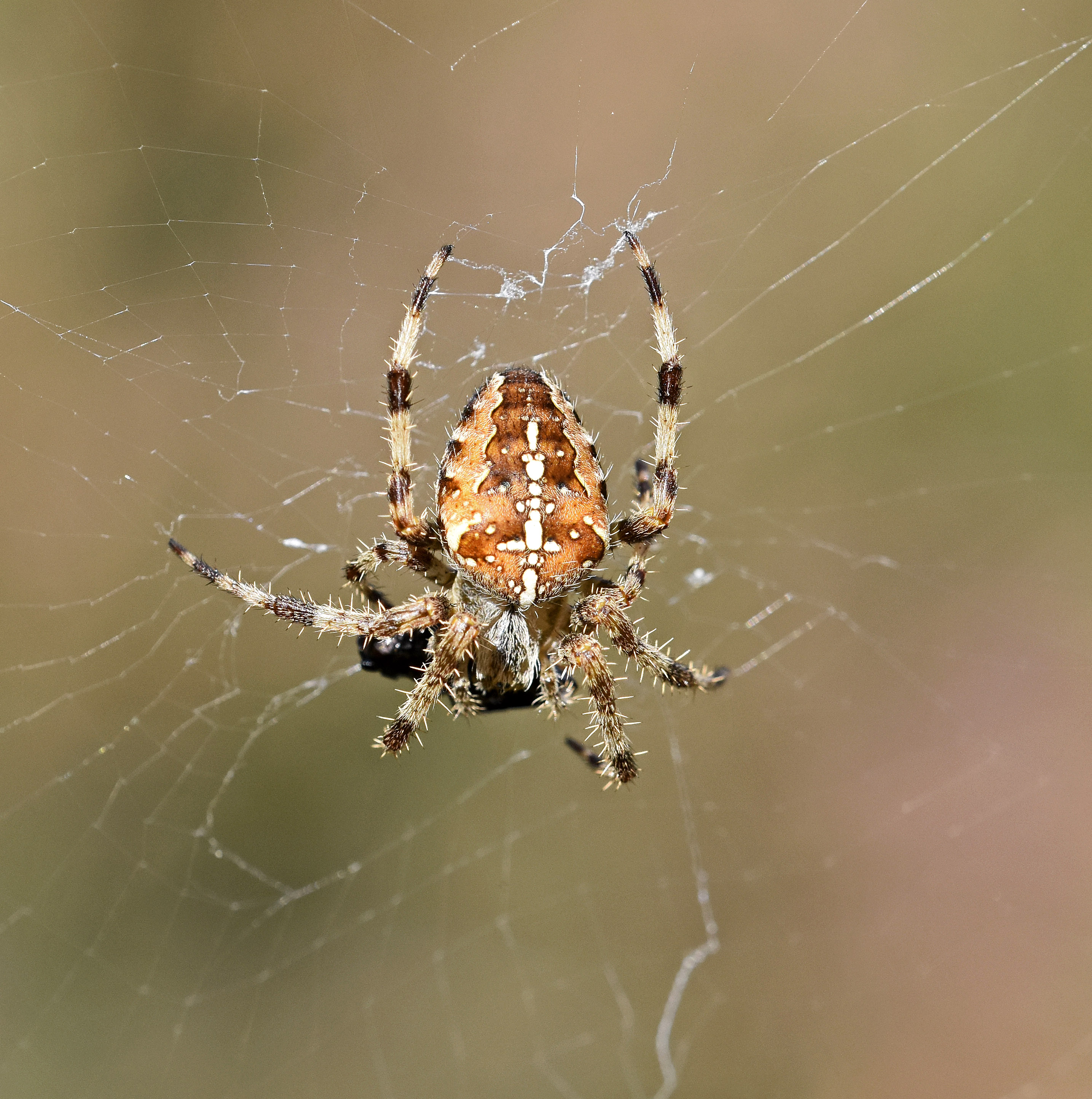 European Garden Spider (Araneus Diadematus) With Prey Wrapped