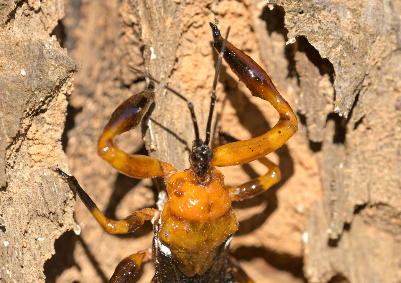 Resin bug (Reduviidae; Harpactorinae; Ectinoderini) with sticky forelegs