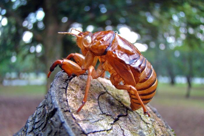 Cast skin (exuviae) of final instar cicada Japan