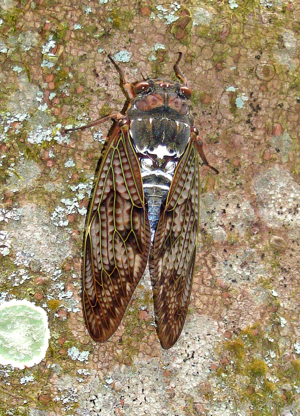 Large brown cicada (Graptopsaltria nigrofuscata) Japan 2