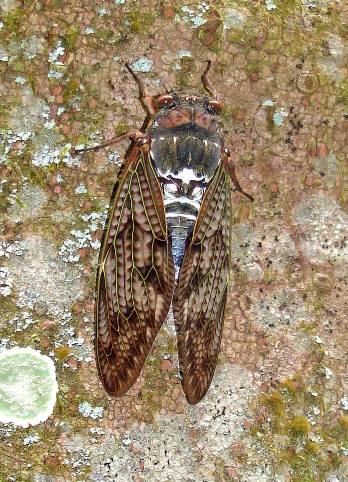 Large brown cicada (Graptopsaltria nigrofuscata) Japan 2