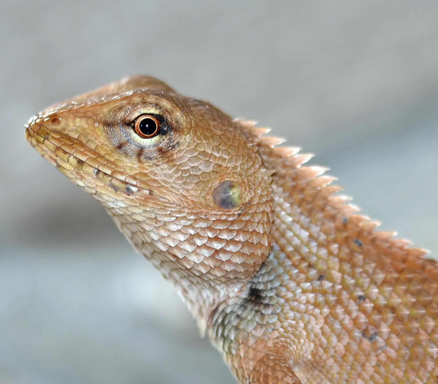 close up on oriental garden lizard calotes versicolor in late april in thailand - Garden Lizard