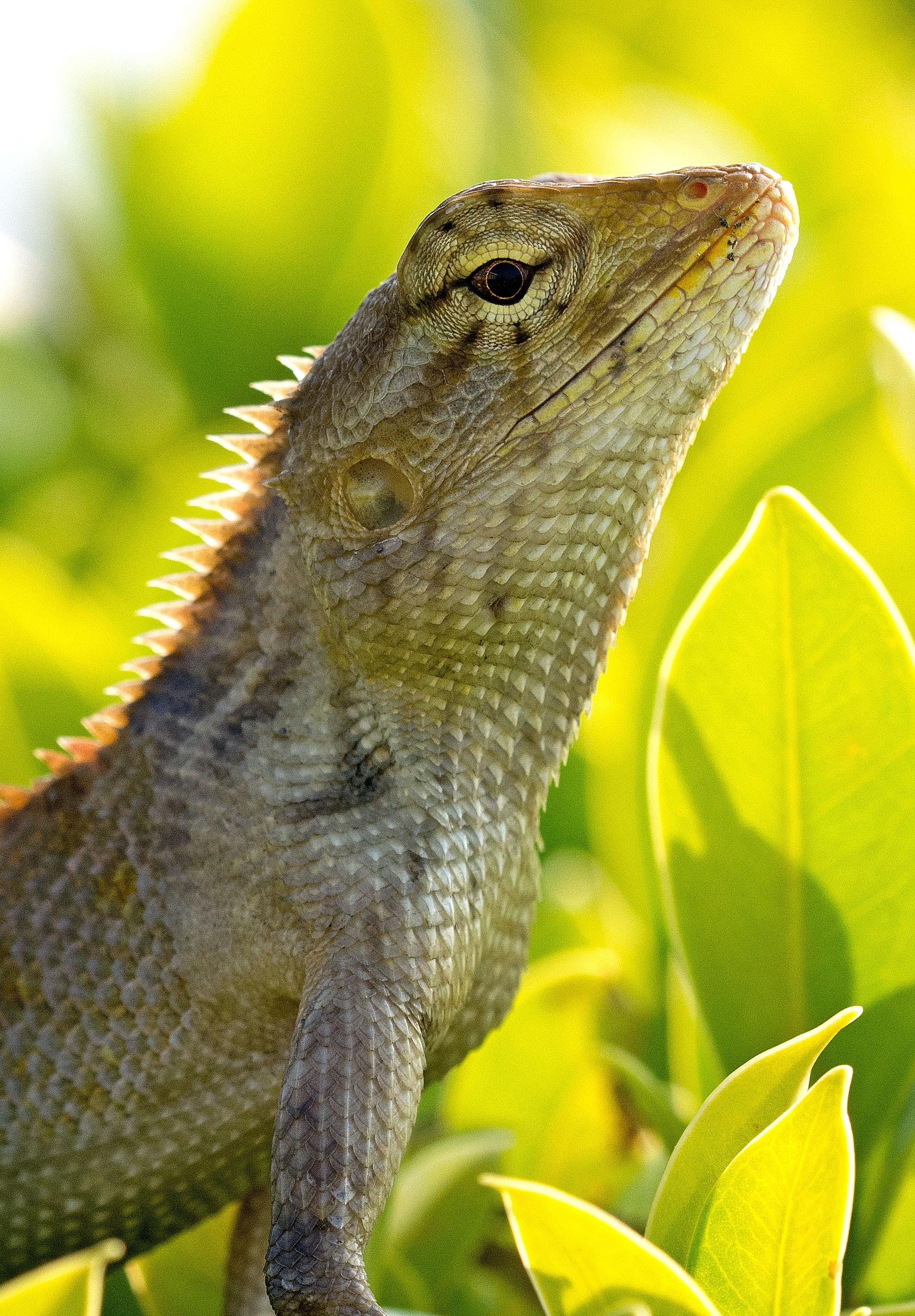a common or garden lizard - Garden Lizard