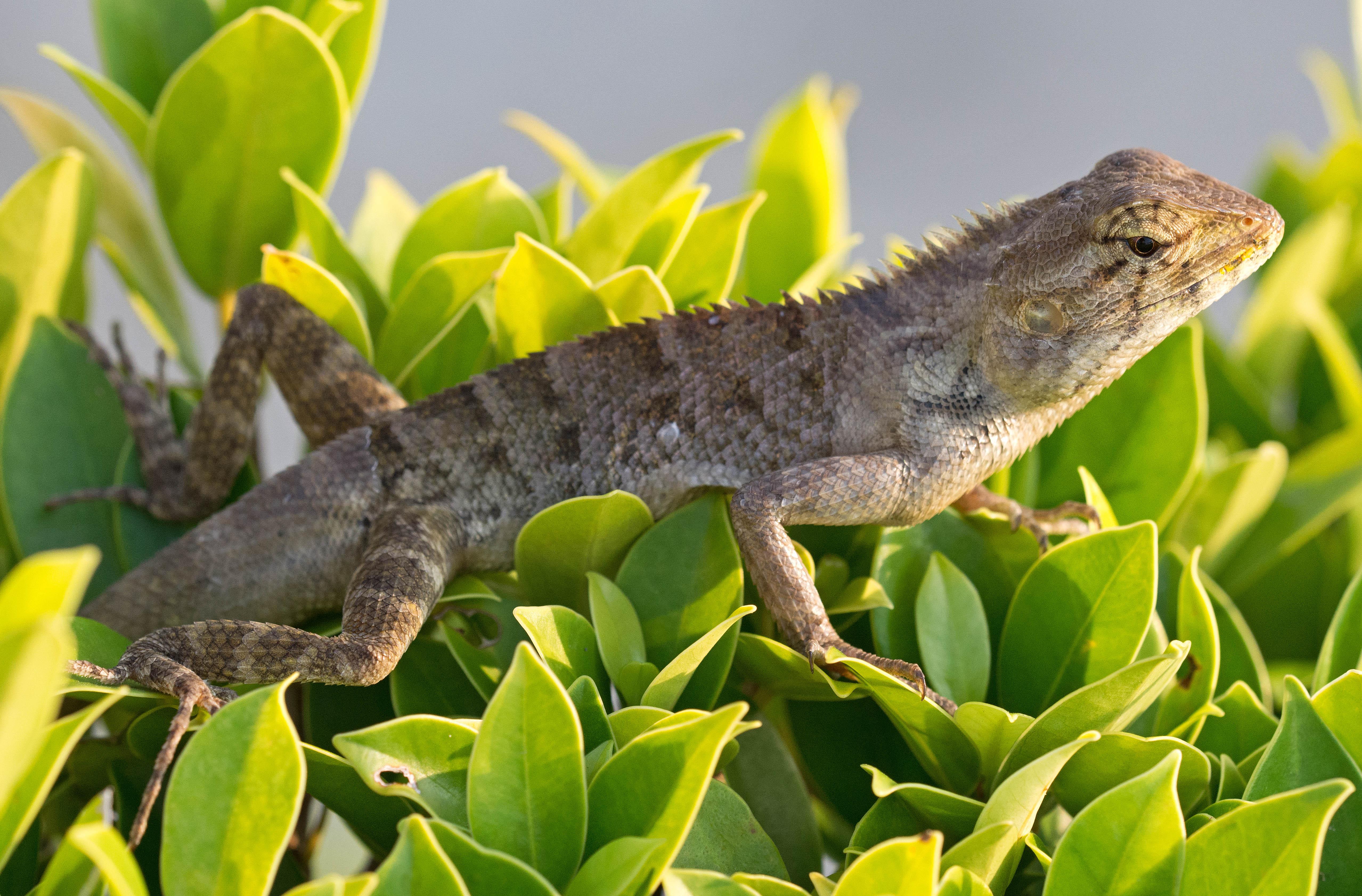 oriental garden lizard calotes versicolor basking on a hedge in late october in thailand - Garden Lizard