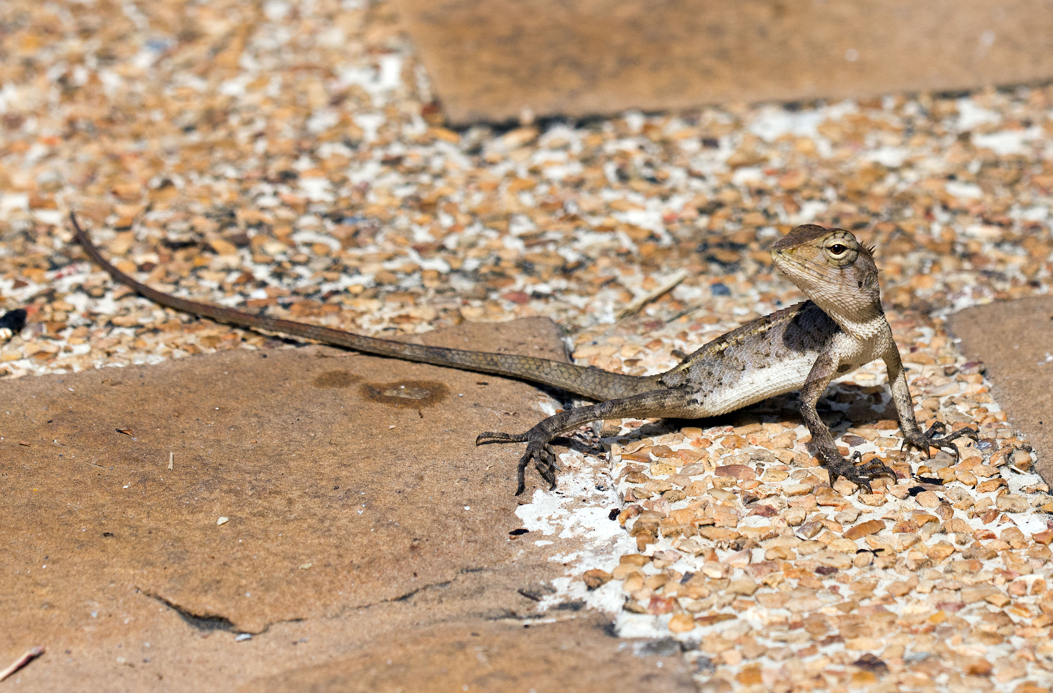 A common or garden lizard! – Ray Cannon\'s nature notes