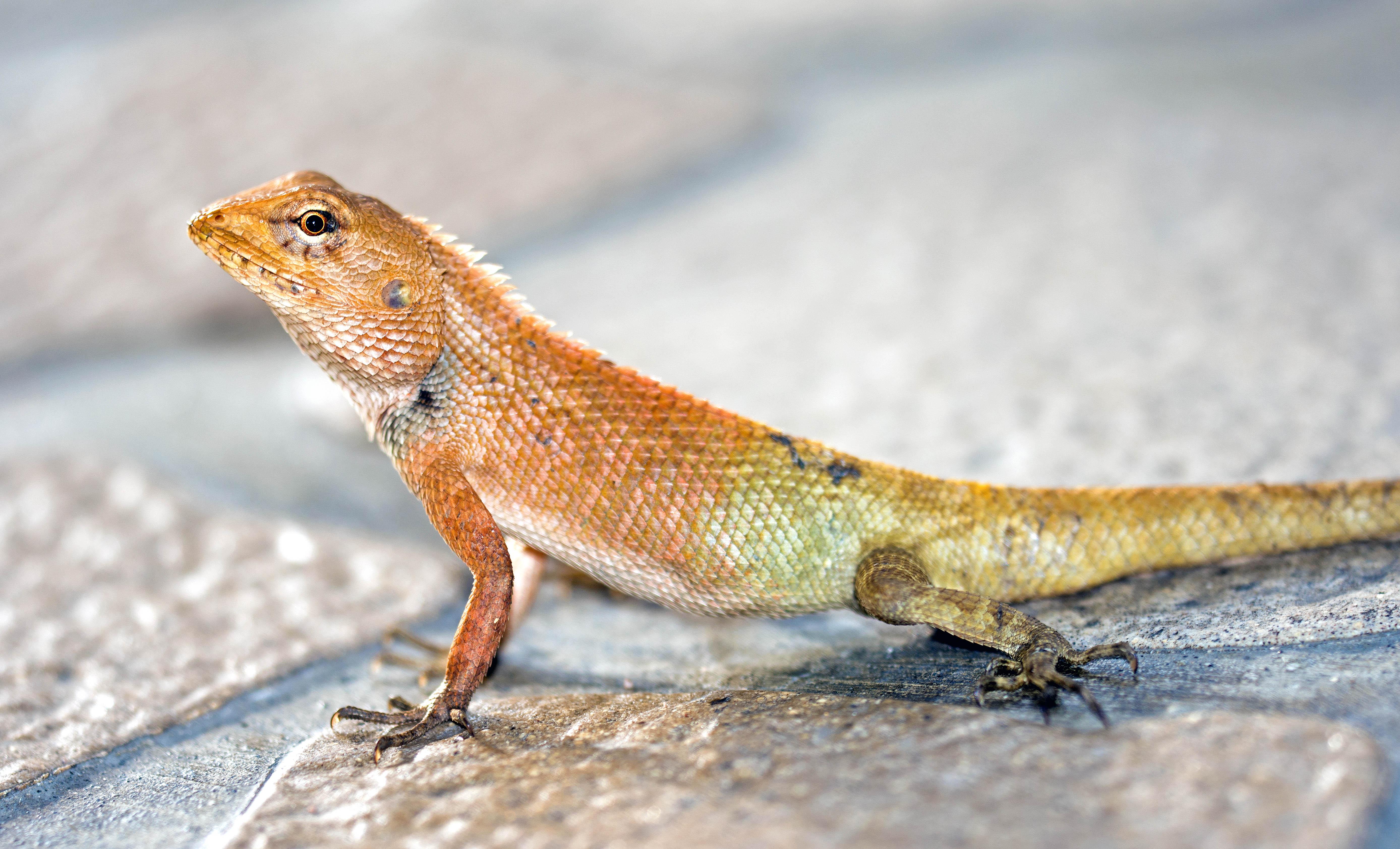 oriental garden lizard calotes versicolor showing red flush of breeding season in late april in thailand - Garden Lizard