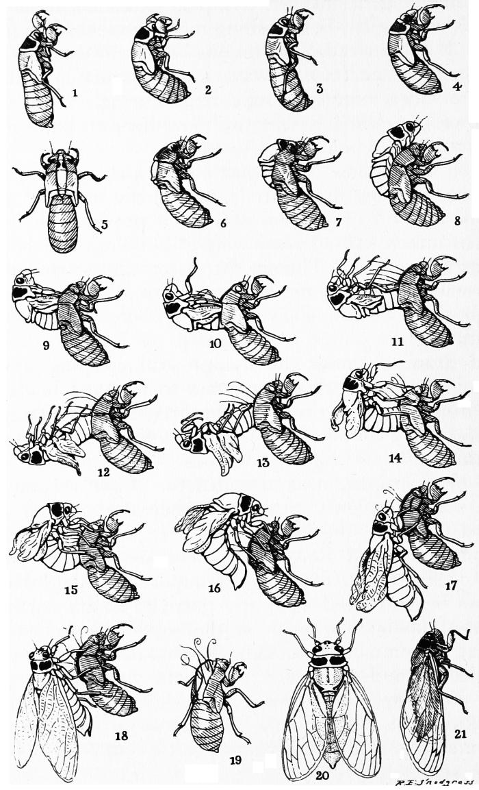 Snodgrass_periodical_cicada_transformation