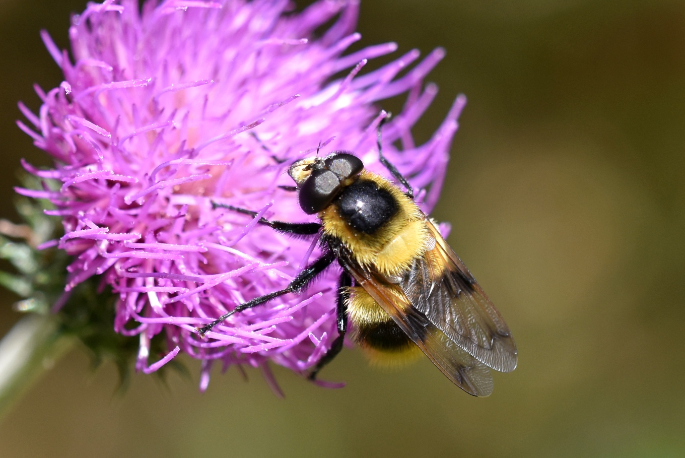 Volucella bombylans plumata on thistle 2