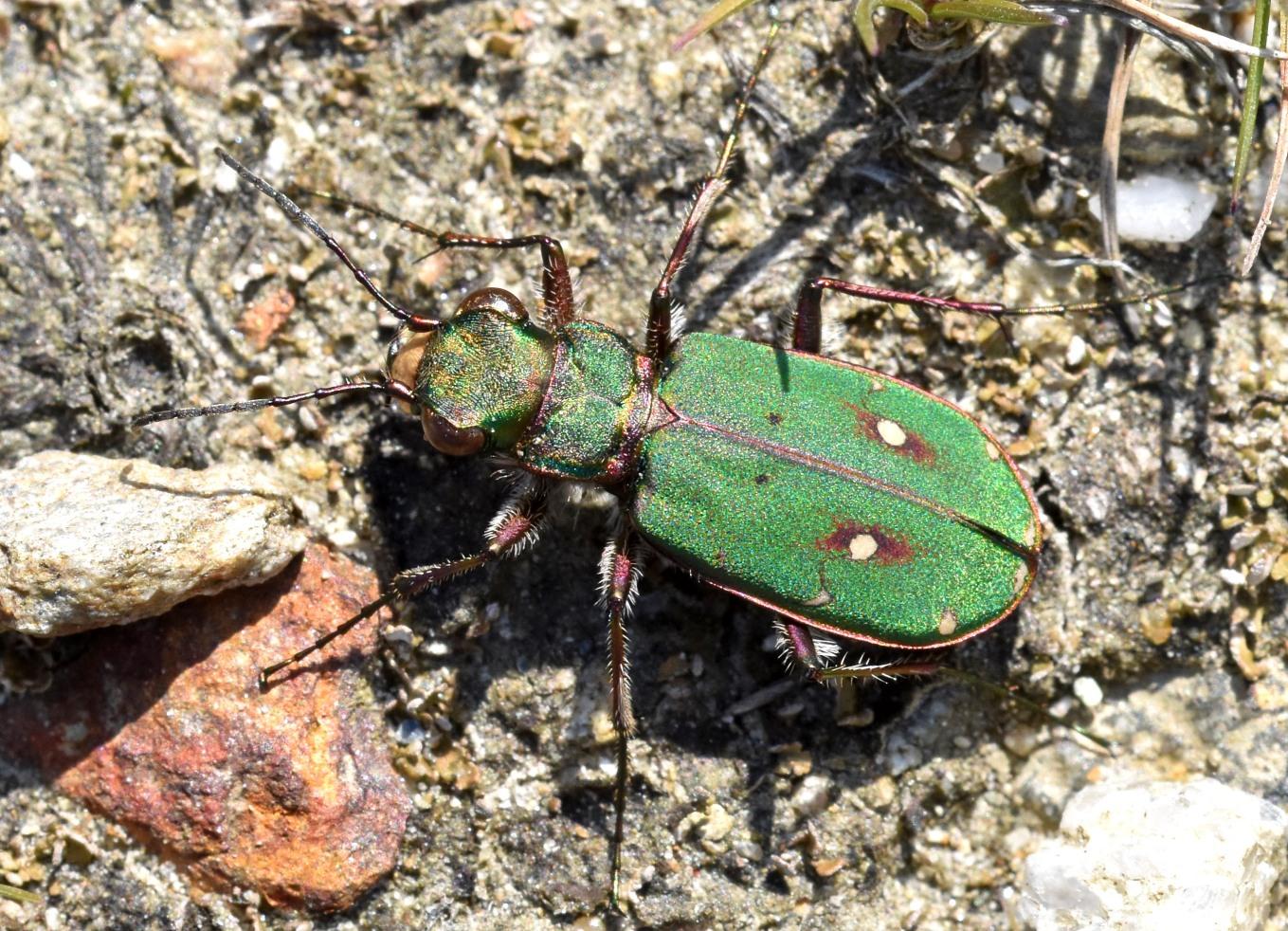 Green tiger beetle (Cicindela campestris) Mozuros