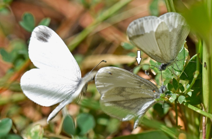 Wood whites courting Galicia, Spain ( 21 Aug 2017) Extended proboscis of the courting male (right) shown by white arrow