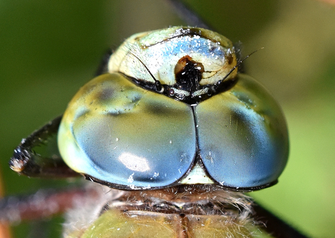 Emperor Dragonfly (Anax imperator) male Beds head and eyes ii