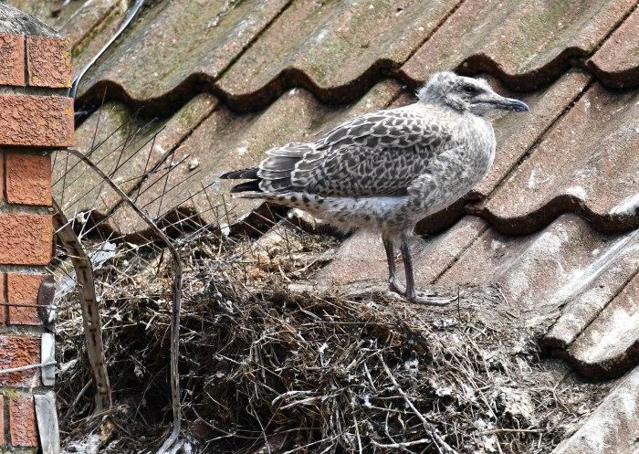 Herring Gull (Larus argentatus) chicks 26 July 2020