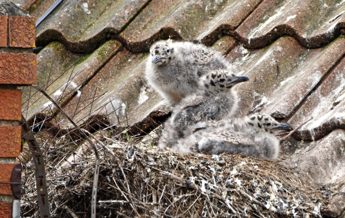 Herring Gull (Larus argentatus) chicks 28 June 2020 1