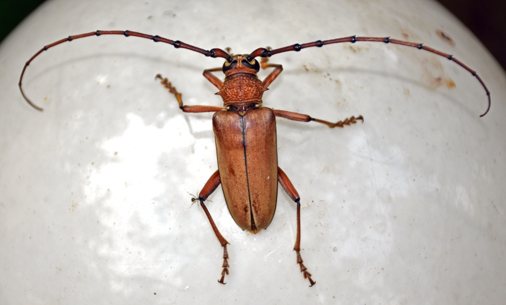 This image has an empty alt attribute; its file name is cerambycid-beetle-neoplocaederus-obesus.jpg