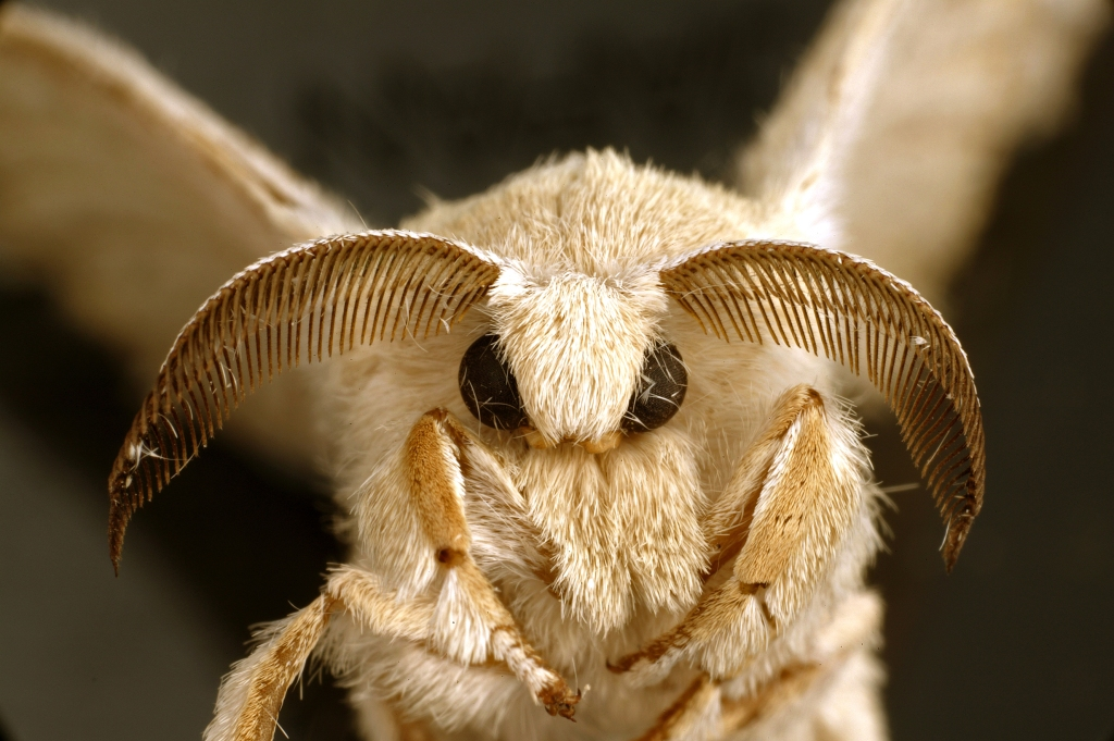 This image has an empty alt attribute; its file name is csiro_scienceimage_10746-an-adult-silkworm-moth-bombyx-mori-wiki-by-csiro-cc-by-3.0-httpscommons.wikimedia.orgwindex.phpcurid35496348.jpg