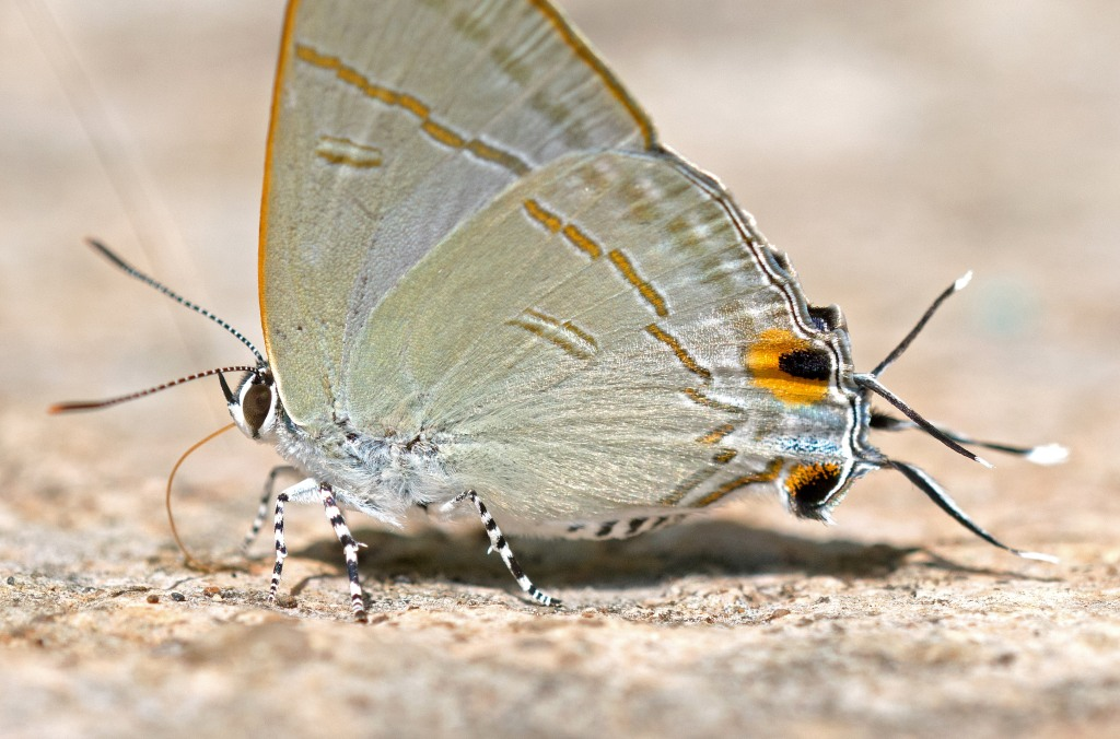 This image has an empty alt attribute; its file name is common-tit-hypolycaena-erylus-himavantus-showing-eyespots-and-tails.jpg