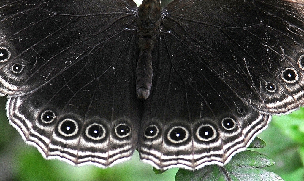 This image has an empty alt attribute; its file name is dusky-diadem-ethope-himachala-3i.jpg