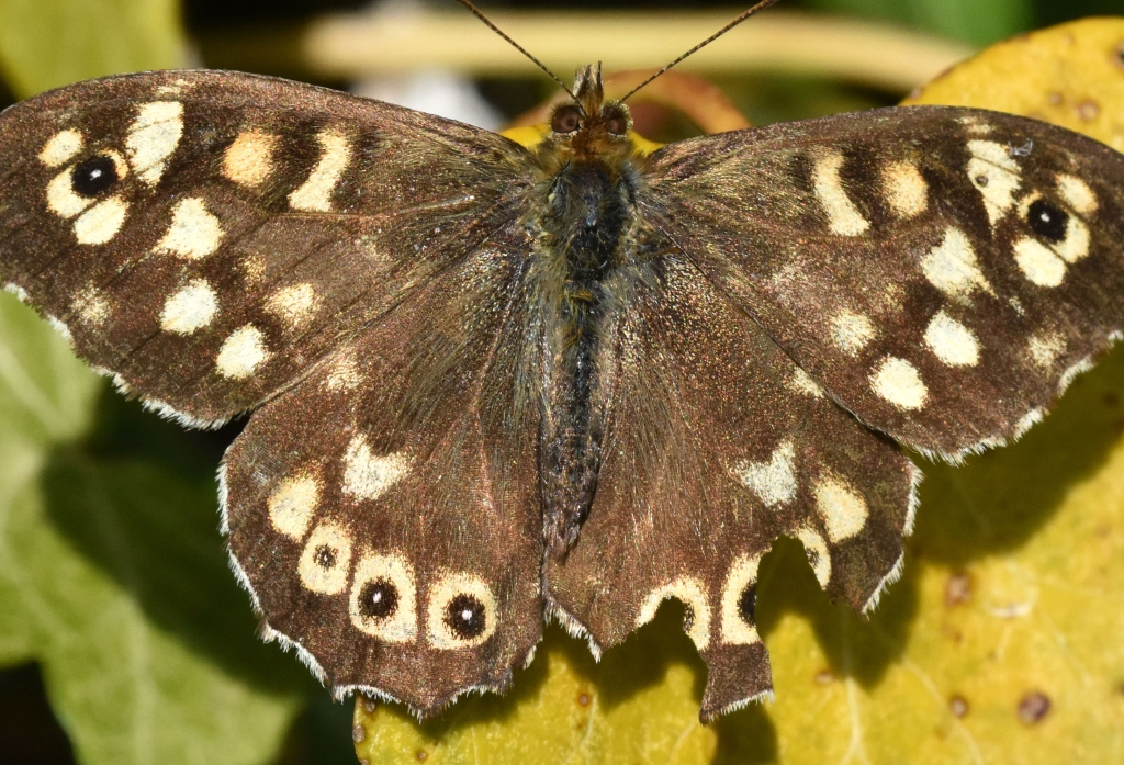 This image has an empty alt attribute; its file name is speckled-wood-pararge-aegeria-ups-scarb-29-apr-19i.jpg