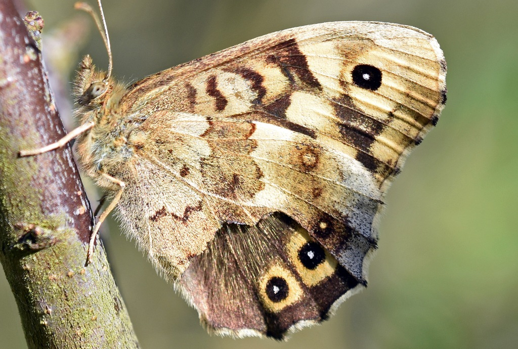 This image has an empty alt attribute; its file name is speckled-wood-speckled-wood-pararge-aegeria-with-damaged-wing-showing-dorsal-eyespts-normally-hidden.jpg