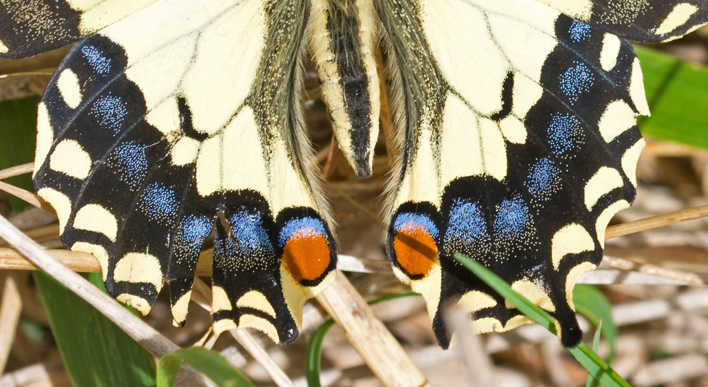 This image has an empty alt attribute; its file name is swallowtail-papilio-machaon-hispanicus-possible-third-generation-brood-14-sept-2017-peck-mark.jpg